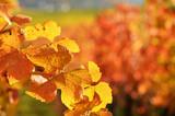 Fototapety Weinberge im Herbst