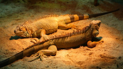 Two iguanas lie on sand in a terrarium