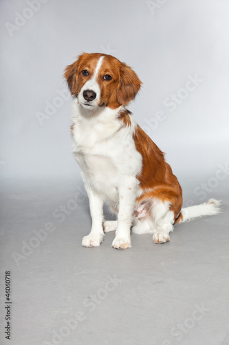 Cute puppy Kooiker hound. Sitting. Total shot. Studio shot.