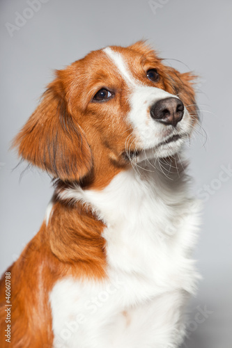 Cute puppy Kooiker hound. Studio shot isolated