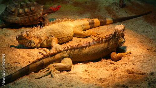 Two iguanas lie on sand in a terrarium, by them there passes a t