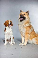 Eurasier dog and Kooiker hound together. Studio shot isolated