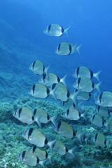 salpe pesci blue mediterraneo