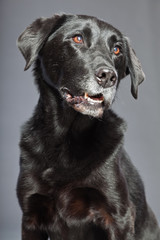 Black mixed breed dog. Mix of flatcoated and labrador retriever.