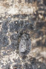 Pill beetle, Byrrhus pilula, macro photo