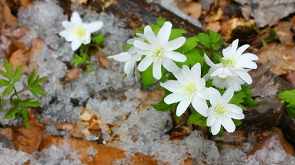 snowdrop flowers and melting snow