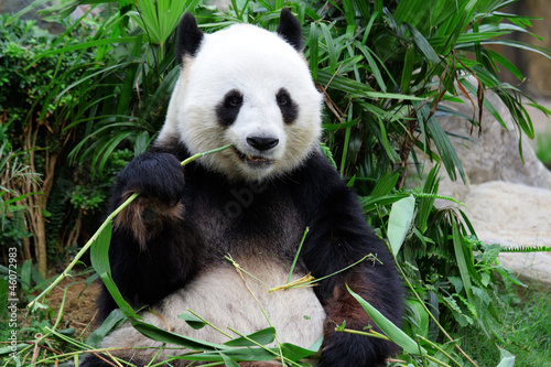 Poster Panda giant panda bear eating bamboo