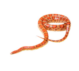 Corn snake on the white background (Elaphe guttata)