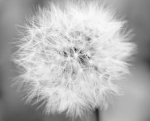 Dandelion Mono