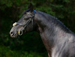 Black Trakehner Horse with classic bridle on dark background