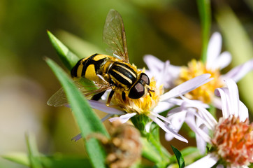 Yellow Jacket on White Flower