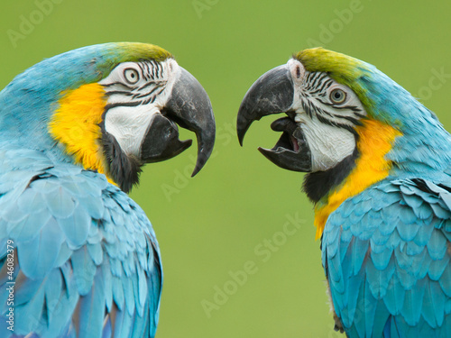 Close-up dwóch ara papug