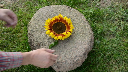 put summer end sunflower blossom on aged old millstone