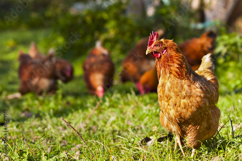 flock of chickens grazing on the grass - 46089519