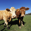 portrait of brown cows