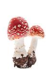 Fliegenpilz (amanita muscaria) - Zwei junge Pilze
