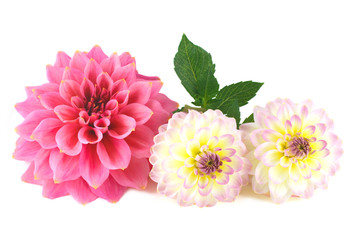 Dahlia flower arrangement on white background