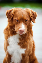 golden retriever Toller dog looks into the camera