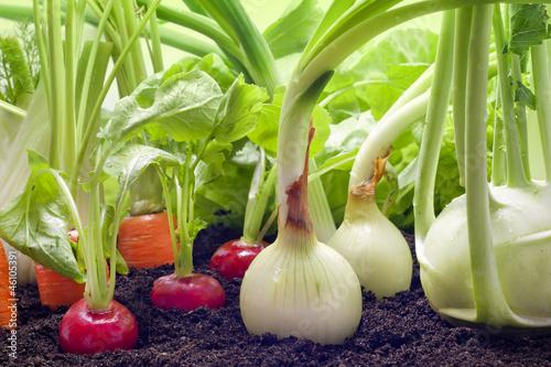 Vegetables mixed assortment growing in the garden