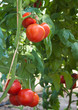 Growing red tomatoes