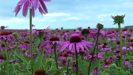 Echinacea fiori