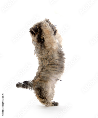 Shih tzu puppy begging for treat