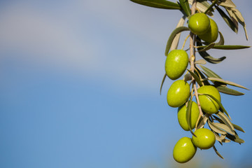 Background with olive branch