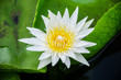 white lotus on green background