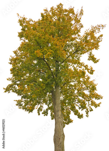 a big autumnal tree isolated on a white background