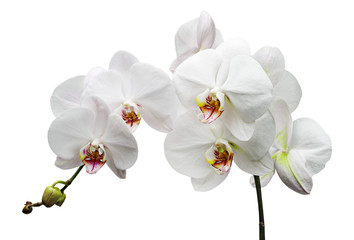 Branch with white flowers orchids