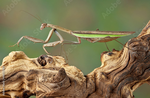 Mantis walking over branch