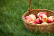 Apples in wicker basket on the grass