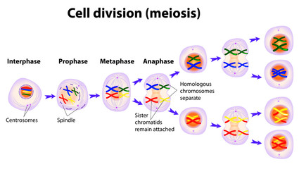 Vector diagram of the meiosis phases