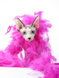Canadian Sphynx cat head with pink feather boa