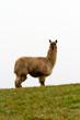 Hairy Alpaca on the hill