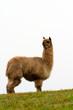 Alpaca looking to the rear