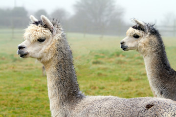 Two gray Alpacas.  They resemble a small llama in appearance