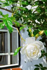 white roses flowers in garden