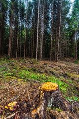 deforested pine forest image