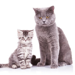 english cats, adult and cub