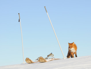 kamchatka red fox