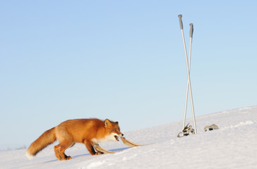 kamchatka red fox