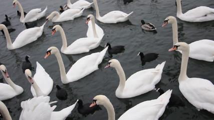 Schwäne und Enten am Zürichsee