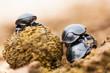 Three beetles