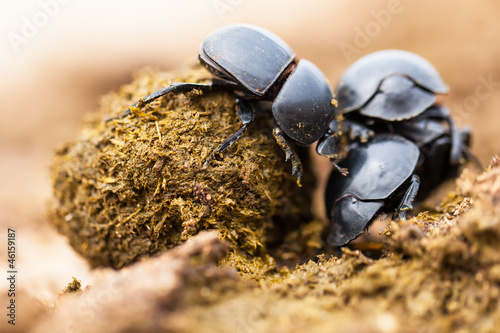 Three dung beetles working really hard together.