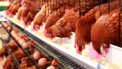 Chicken eggs,hens eating food in farm