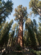 Séquoia géant General Sherman