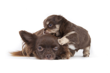 Chihuahua pup isolated on white background