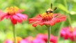 bee fly and walk on pink flower,hd clip