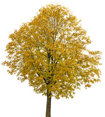 an autumnal tree isolated on a white background